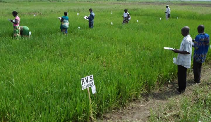 System of Rice Intensification - Democratic Republic of Congo