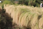 The System of Teff Intensificaton (STI) in Tigray 2012