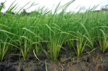 Liberian SRI rice