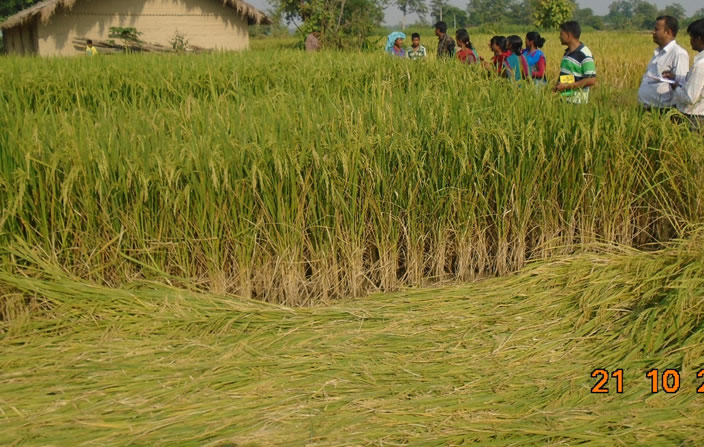 System of Rice Intensification - Nepal