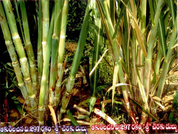 sugar cane farming articles