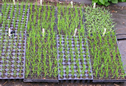 Maine SWI wheat seedlings
